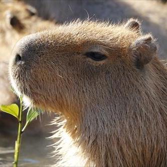 s-capybara's icon