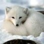 @icy-arctic-fox