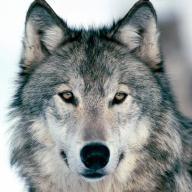 @thewolf