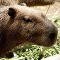 @Capybara
